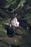 ミズオオバコ 23018034250| 写真素材・ストックフォト・画像・イラスト素材|アマナイメージズ