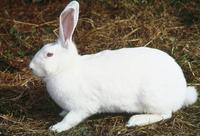 ウサギ(ニュージーランドホワイト) 23018034411| 写真素材・ストックフォト・画像・イラスト素材|アマナイメージズ