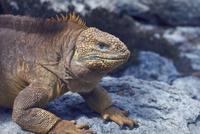 ガラパゴスオカイグアナ