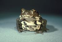 ヒキガエルの一種 23018034638| 写真素材・ストックフォト・画像・イラスト素材|アマナイメージズ