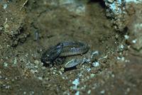 ニホンカナヘビ