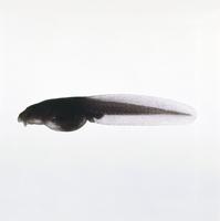 ヒキガエルの一種