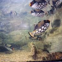 モンガラカワハギ 23018036178| 写真素材・ストックフォト・画像・イラスト素材|アマナイメージズ