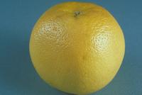 グレープフルーツ 23018039927| 写真素材・ストックフォト・画像・イラスト素材|アマナイメージズ