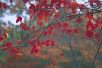 タタ−ルカエデ 23018040128| 写真素材・ストックフォト・画像・イラスト素材|アマナイメージズ