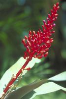 ウラベニサンゴアナナス