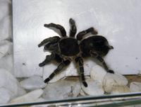 オオツチグモ