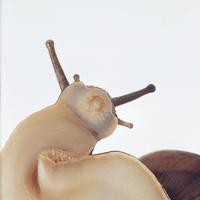 ヒダリマキマイマイ 23018041753| 写真素材・ストックフォト・画像・イラスト素材|アマナイメージズ