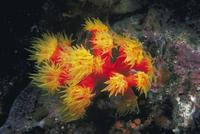 ジュウジキサンゴ