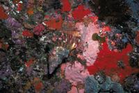 ボウシュウボラ 23018042001| 写真素材・ストックフォト・画像・イラスト素材|アマナイメージズ