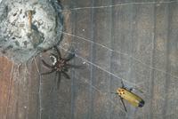 ヒラタグモ