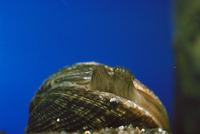 アサリ 23018042333| 写真素材・ストックフォト・画像・イラスト素材|アマナイメージズ