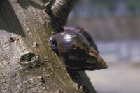 アフリカマイマイ 23018042543| 写真素材・ストックフォト・画像・イラスト素材|アマナイメージズ