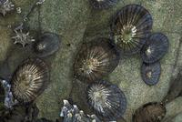 マツバガイ 23018042873| 写真素材・ストックフォト・画像・イラスト素材|アマナイメージズ