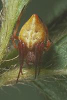 カラオニグモ