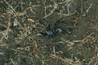 ハンゲツオスナキグモ