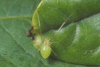 ホシミドリヒメグモ