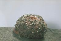 オオイボイソギンチャク 23018043201| 写真素材・ストックフォト・画像・イラスト素材|アマナイメージズ