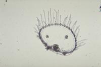 オベリアクラゲ 23018043215| 写真素材・ストックフォト・画像・イラスト素材|アマナイメージズ