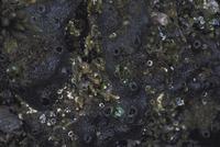 クロイソカイメン 23018043234| 写真素材・ストックフォト・画像・イラスト素材|アマナイメージズ