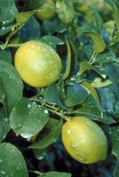 レモン 23018043354| 写真素材・ストックフォト・画像・イラスト素材|アマナイメージズ