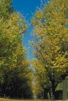 イチョウ 23018043967  写真素材・ストックフォト・画像・イラスト素材 アマナイメージズ