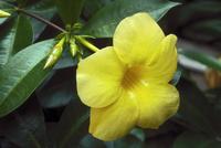 オオバナアリアケカズラ 23018044698| 写真素材・ストックフォト・画像・イラスト素材|アマナイメージズ