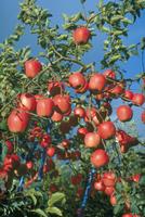 リンゴ 23018047299| 写真素材・ストックフォト・画像・イラスト素材|アマナイメージズ