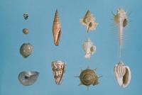 貝の標本 23018048577| 写真素材・ストックフォト・画像・イラスト素材|アマナイメージズ