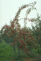 ヒメリンゴ