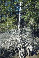 マングローブの樹木