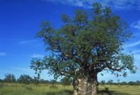 バオバブ 23018049902| 写真素材・ストックフォト・画像・イラスト素材|アマナイメージズ