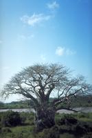バオバブ 23018049908| 写真素材・ストックフォト・画像・イラスト素材|アマナイメージズ