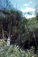 カミガヤツリ
