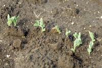 サヤエンドウの発芽