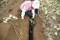ゴボウの収穫 23018053405| 写真素材・ストックフォト・画像・イラスト素材|アマナイメージズ
