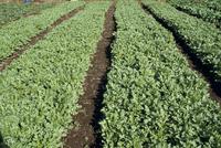 シュンギクの収穫