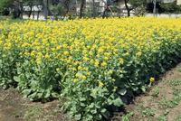 コマツナの開花期
