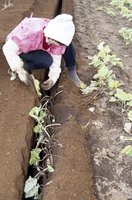 ゴボウの収穫 23018053537| 写真素材・ストックフォト・画像・イラスト素材|アマナイメージズ