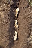 ショウガの栽培 23018053575| 写真素材・ストックフォト・画像・イラスト素材|アマナイメージズ