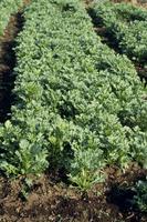 シュンギクの収穫期