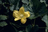 トウガンの花 23018053604| 写真素材・ストックフォト・画像・イラスト素材|アマナイメージズ
