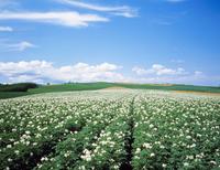 ジャガイモ畑 北海道 23018053610| 写真素材・ストックフォト・画像・イラスト素材|アマナイメージズ