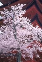 サクラと五重塔 宮島(広島) 23018053730| 写真素材・ストックフォト・画像・イラスト素材|アマナイメージズ