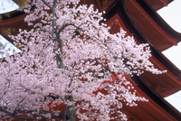 サクラと五重塔 宮島(広島) 23018053731| 写真素材・ストックフォト・画像・イラスト素材|アマナイメージズ