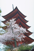 サクラと五重塔 宮島(広島)