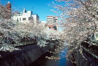 サクラ(目黒川)