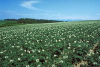 ジャガイモ畑 23018053765| 写真素材・ストックフォト・画像・イラスト素材|アマナイメージズ