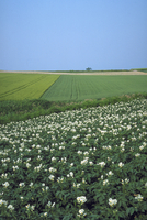 ジャガイモ畑 23018053766| 写真素材・ストックフォト・画像・イラスト素材|アマナイメージズ