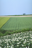 ジャガイモ畑 23018053767| 写真素材・ストックフォト・画像・イラスト素材|アマナイメージズ